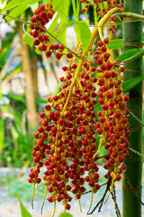 Tropical palm fruits