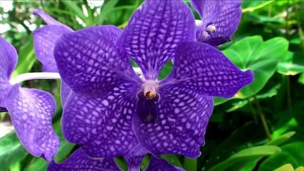 Vanda coerulea orchid ( Blue Vanda).