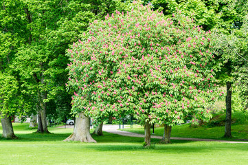 Red Horse-chestnut