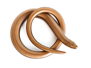 Slow worm or legless lizard
