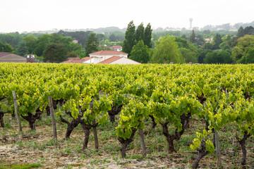 Vignoble nantais à Monnières au printemps - Loire Atlantique