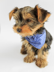 Yorkshire terrier - portrait of a cute puppy