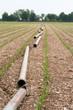campo di mais  con tubi per irrigazione