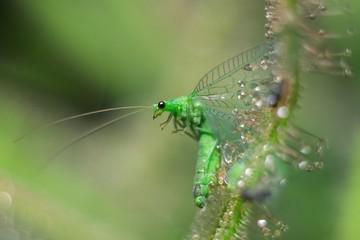 Chrysopidae5