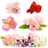 Fototapety Collage of alstroemeria flowers isolated on white