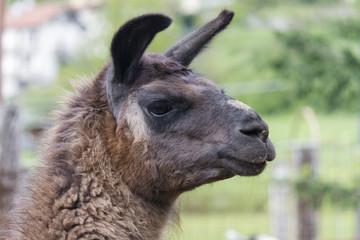 lamas in the farm