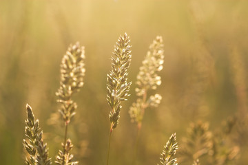 spike grass steppe in saturated sunlight