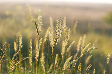 spike grass steppe in sunset sunlight