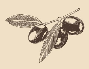 olive branch vintage illustration, engraved retro style,