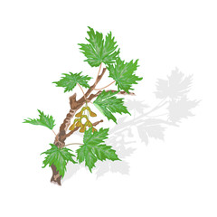 Maple branch vector illustration