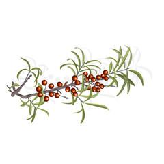 Seabuckthorn berries vector illustration
