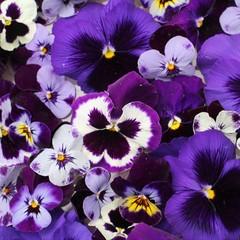 Pensées violettes