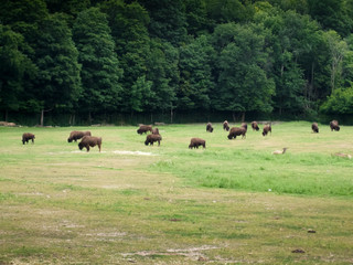 Herd of bison grazing in forest