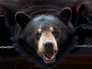 Close-up of a Bearskin rug