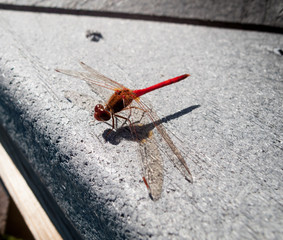 Close-up of a Red-veined darter (Sympetrum fonscolombii)
