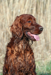 Curious Irish Setter looikng in Summer