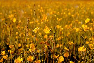 gelbe Sommerwiese