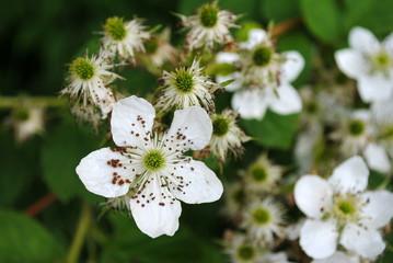 weiße brombeerenblüten