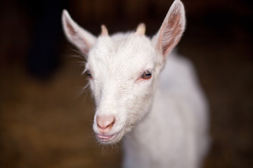 Little goatling