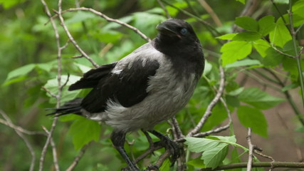 Fledgling crow, who recently left the nest