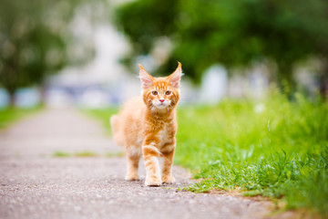 red kitten walking outdoors