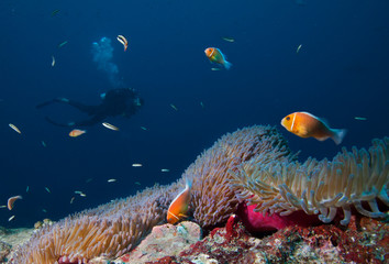 Scuba Diver swim over coral reef with Clown fish