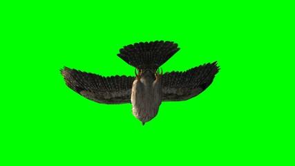 owl in glide flight close up - green screen