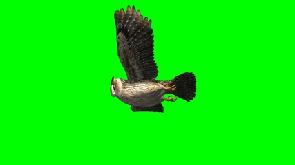 owl in glide flight close up - green screen