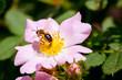 Eglantine and Bee