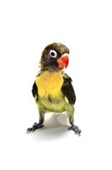 Polluelo de agapornis personata