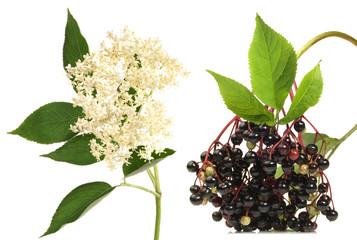 Holunder - Holunderblüte