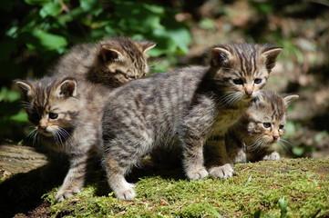 Wildcat 11