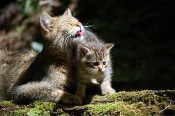 Wildcat 4