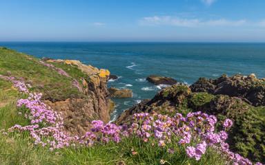 Sea Thrift flowers on Scottish NE coast