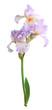 Iris flower. Isolated on white background