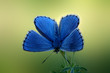 Brilliantly-colored butterfly Adonis Blue (Lysandra bellargus)