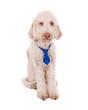 Braver Hund mit Krawatte
