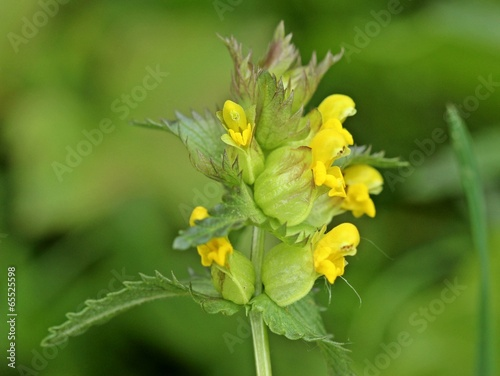 canvas print picture Kleiner Klappertopf (Rhinanthus minor)