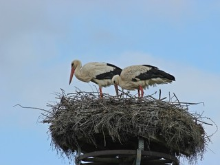 Weißstörche (Ciconia ciconia) auf dem Nest