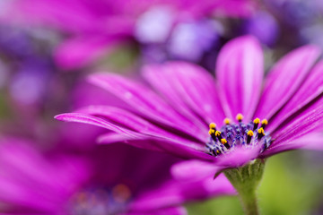 pink african daisy in outdoor scene