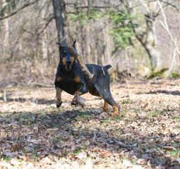 doberman chasing a stick