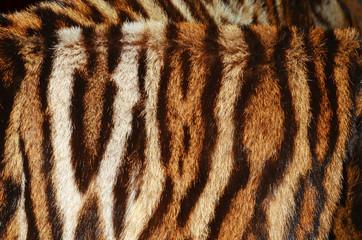 pelliccia di tigre del bengala