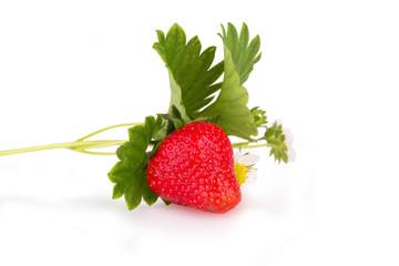 fresh strawberry bush