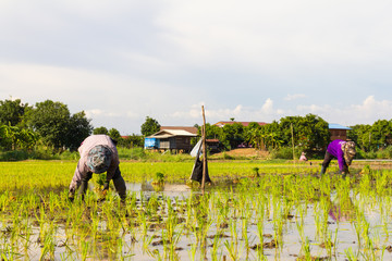 Thailand rice farmers planting rice in the paddy fields