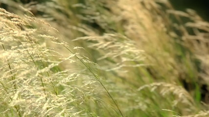 Grass in the wind, close up shot.