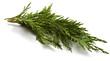 Cupressus sempervirens Italiaanse cipres - 65531181