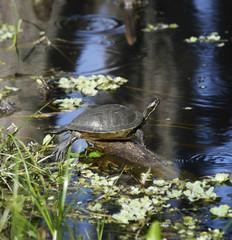 Turtle On The Lake