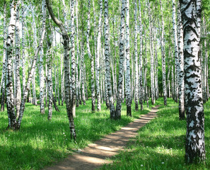 Pathway in spring birch grove with sun beams