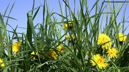 Dandelion meadow in bloom