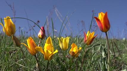 Wild Steppe Tulip